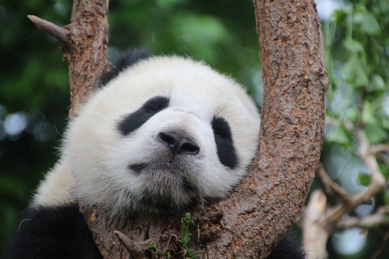 寝ているパンダ