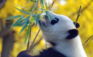 パンダが笹を食べている